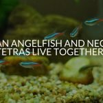 Can Angelfish And Neon Tetras Live Together?