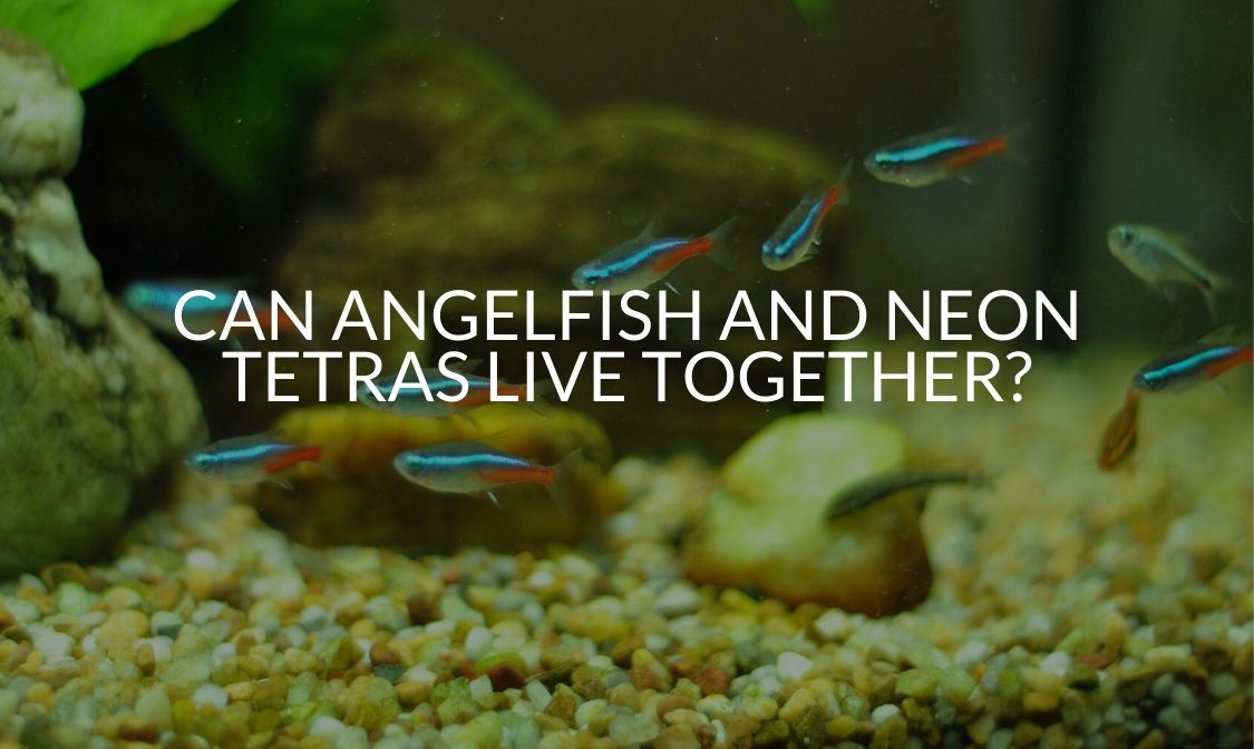 Can Angelfish And Neon Tetras Live Together_