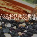 Can Ghost Shrimp And Guppies Live Together?