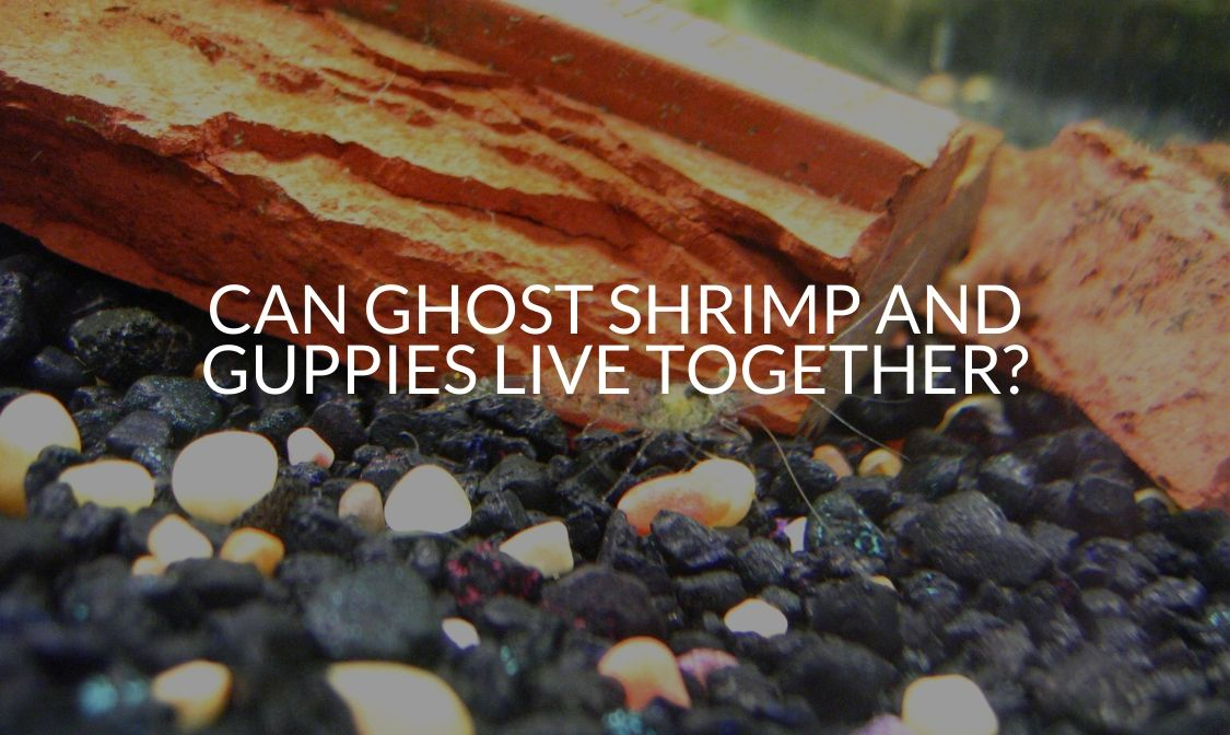 Can Ghost Shrimp And Guppies Live Together_