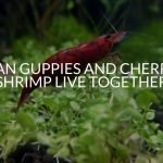 Can Guppies And Cherry Shrimp Live Together? (Tips And Tricks)