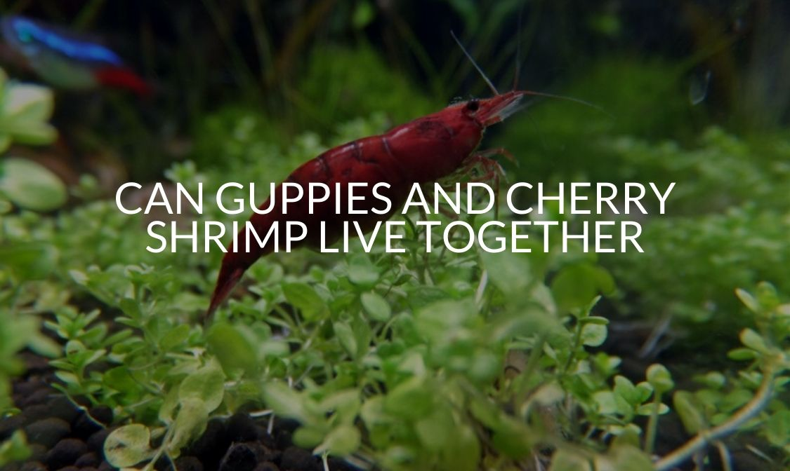 Can Guppies And Cherry Shrimp Live Together