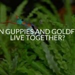 Can Guppies And Goldfish Live Together?