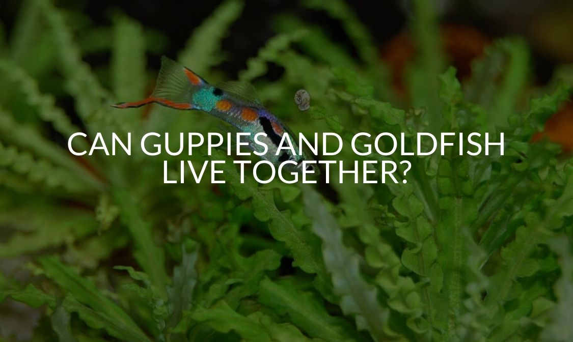 Can Guppies And Goldfish Live Together_