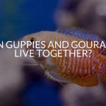 Can Guppies And Gouramis Live Together? (What You NEED To Know)