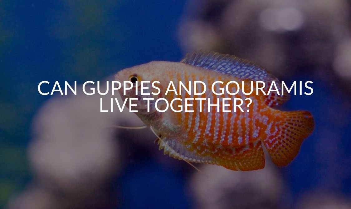 Can Guppies And Gouramis Live Together_