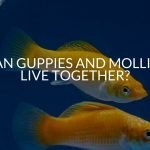 Can Guppies And Mollies Live Together? (Complete Guide)