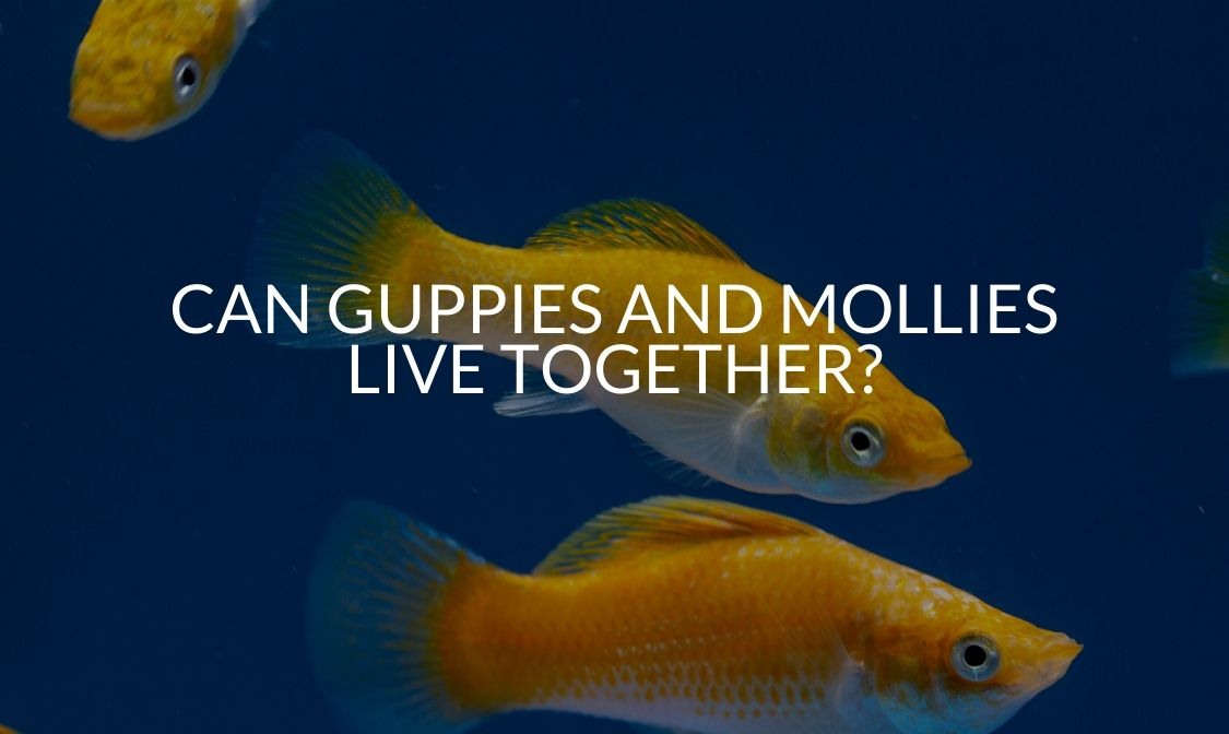 Can Guppies And Mollies Live Together_
