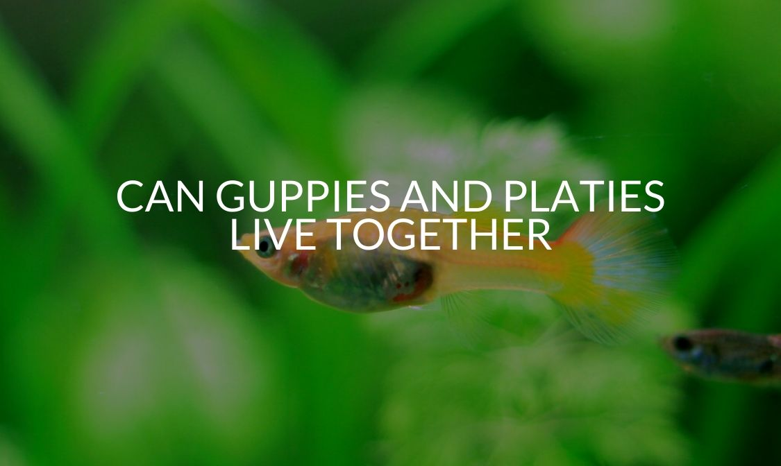 Can Guppies And Platies Live Together?