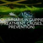 Columnaris In Guppies (Treatment, Causes, Prevention)