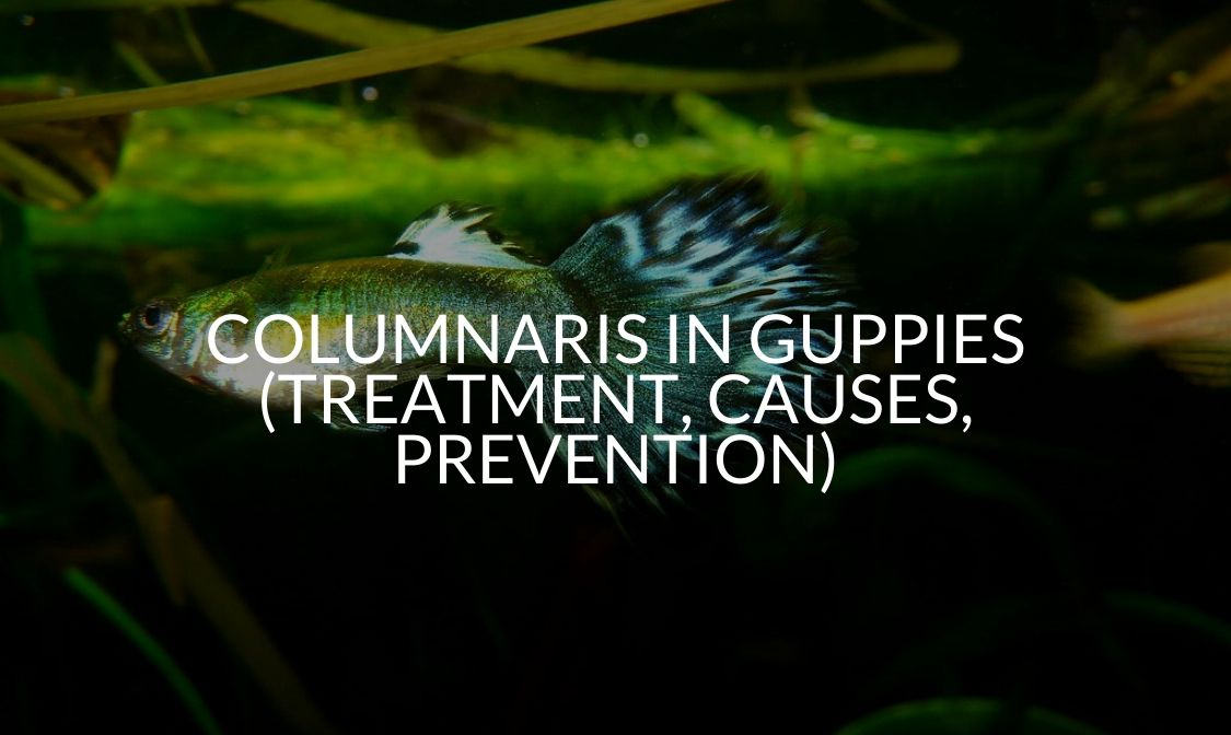 Columnaris In Guppies (Treatment, Causes, Prevention)