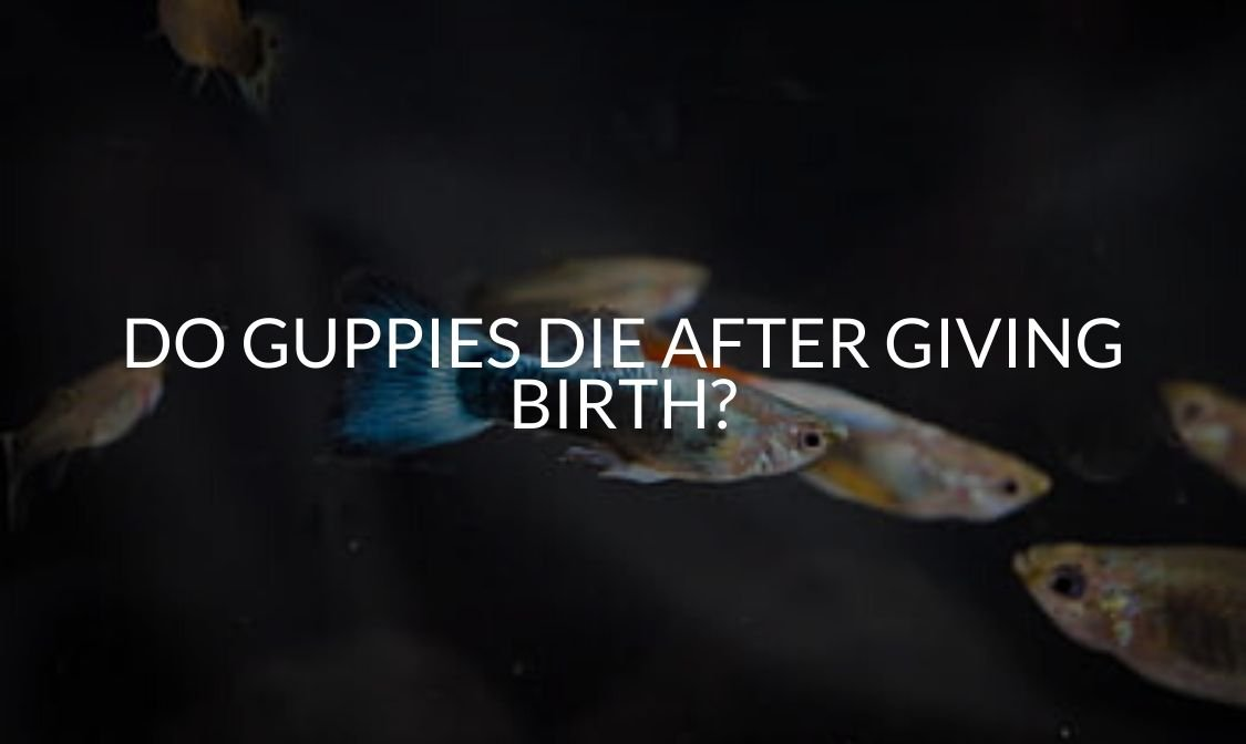 Do Guppies Die After Giving Birth_