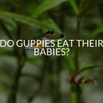 Do Guppies Eat Their Babies? (& How To Prevent It)