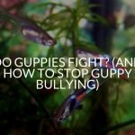 Do Guppies Fight? (And How To Stop Guppy Bullying)