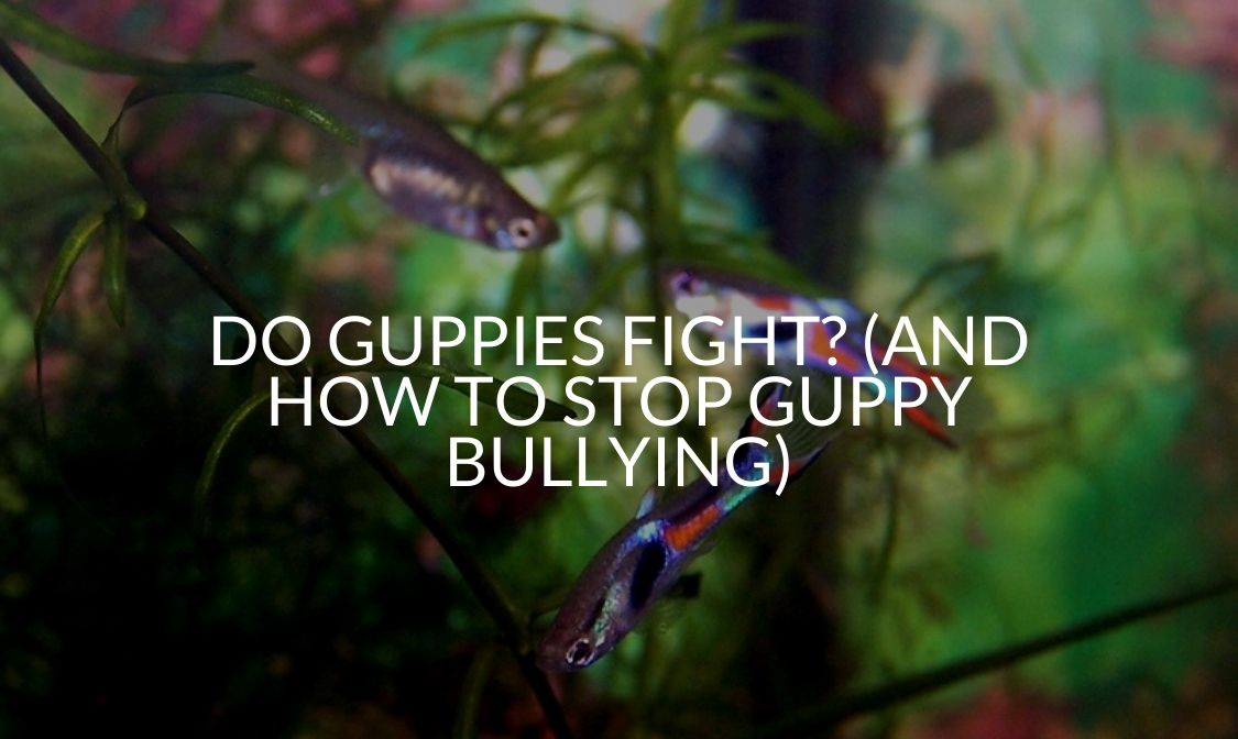 Do Guppies Fight_ (And How To Stop Guppy Bullying)