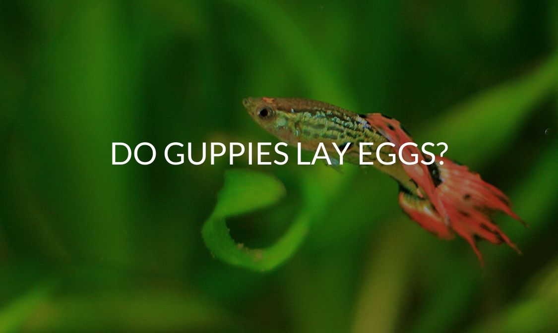 Do Guppies Lay Eggs_