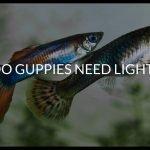 Do Guppies Need Light?