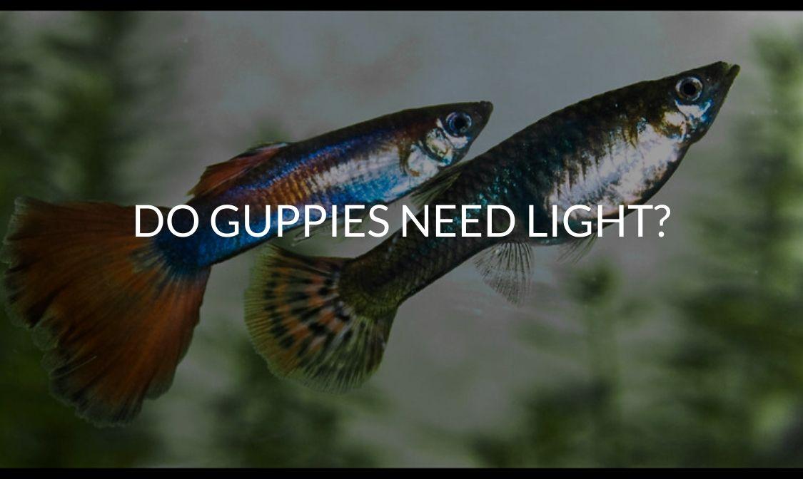 Do Guppies Need Light_