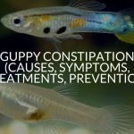 Guppy Constipation (Causes, Symptoms, Treatments, Prevention)