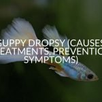 Guppy Dropsy (Causes, Treatments, Prevention, Symptoms)