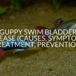 Guppy Swim Bladder Disease (Causes, Symptoms, Treatment, Prevention)