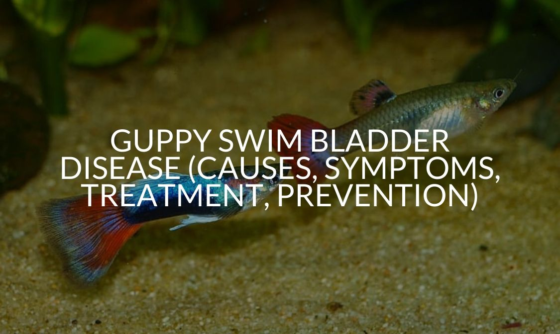 Guppy Swim Bladder Disease (Causes, Symptoms, Treatment, Prevention)