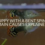Guppy With A Bent Spine? (Main Causes Explained)