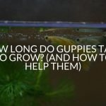How Long Do Guppies Take To Grow? (And How To Help Them)