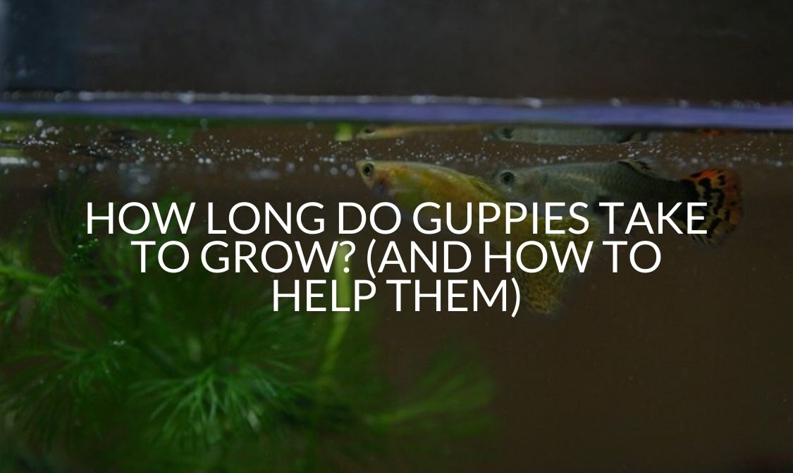 How Long Do Guppies Take To Grow_ (And How To Help Them)