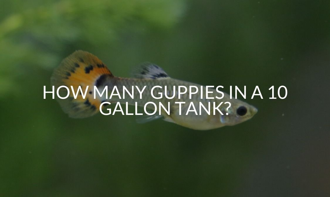 How Many Guppies in a 10 Gallon Tank_