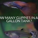 How Many Guppies in a 20 Gallon Tank?
