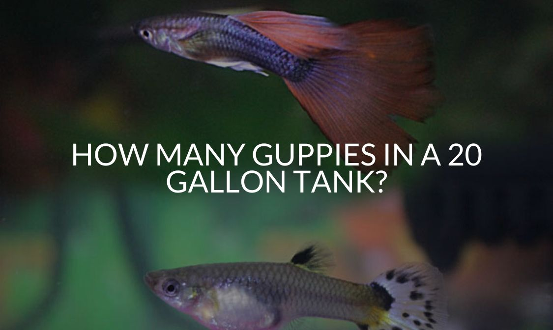 How Many Guppies in a 20 Gallon Tank