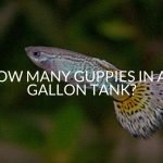 How Many Guppies in a 5 Gallon Tank?