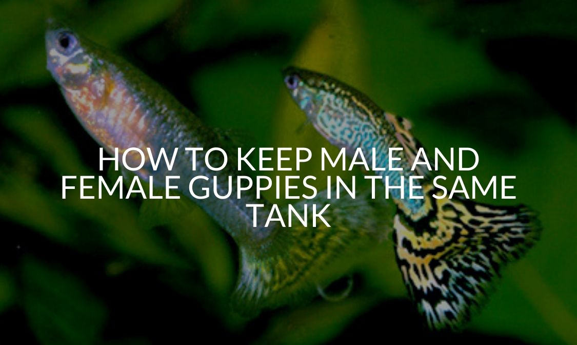 How To Keep Male And Female Guppies In The Same Tank