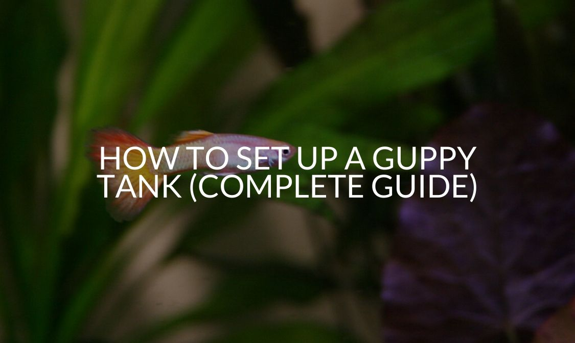 How To Set Up A Guppy Tank (Complete Guide)