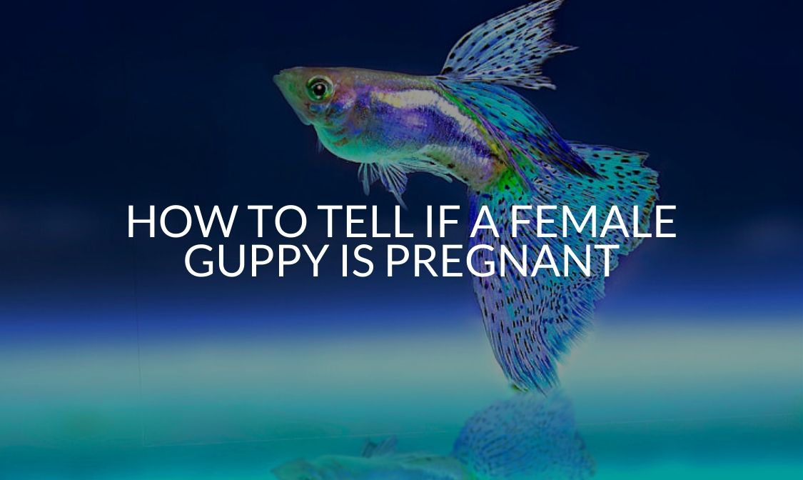 How To Tell If A Female Guppy Is Pregnant
