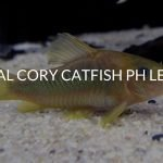 Ideal Cory Catfish pH Level (& How To Change It)