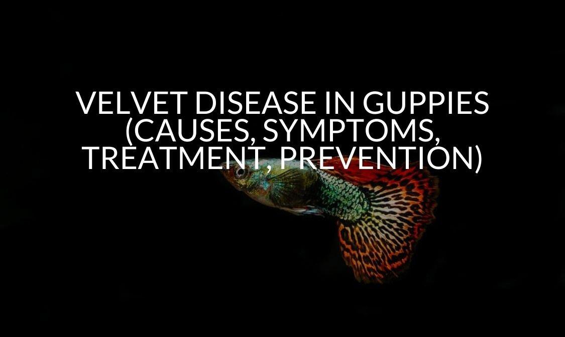 Velvet Disease In Guppies