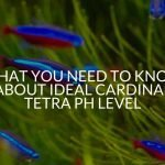 What You Need to Know About Ideal Cardinal Tetra pH Level