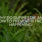 Why Do Guppies Die And How To Prevent It from Happening!