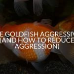 Are Goldfish Aggressive? (And How To Reduce Aggression)