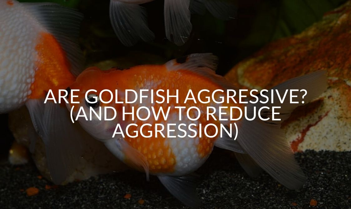 Are Goldfish Aggressive_ (And How To Reduce Aggression