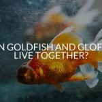 Can Goldfish And Glofish Live Together?