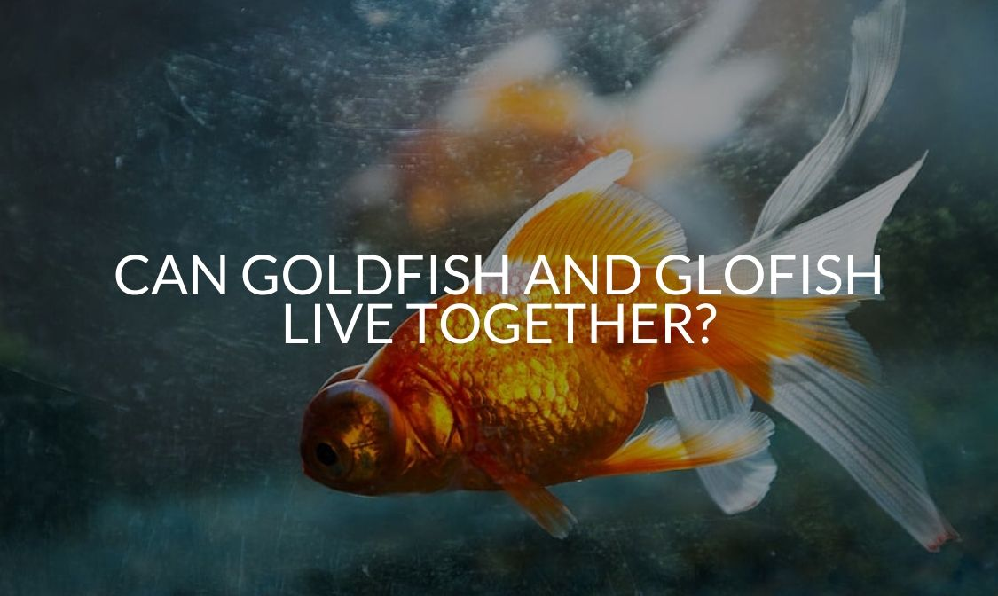 Can Goldfish And Glofish Live Together_
