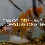 Can Goldfish And Minnows Live Together?