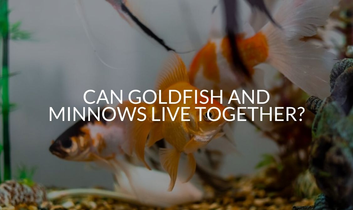 Can Goldfish And Minnows Live Together_