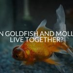 Can Goldfish And Mollies Live Together?