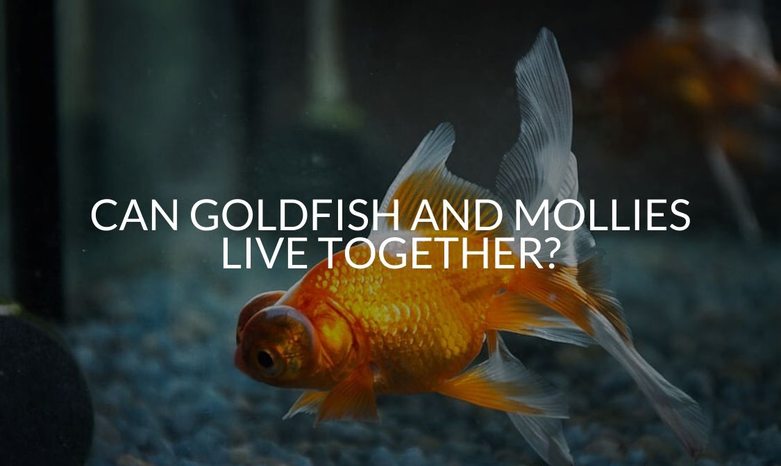 Can Goldfish And Mollies Live Together_