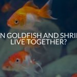 Can Goldfish And Shrimp Live Together?