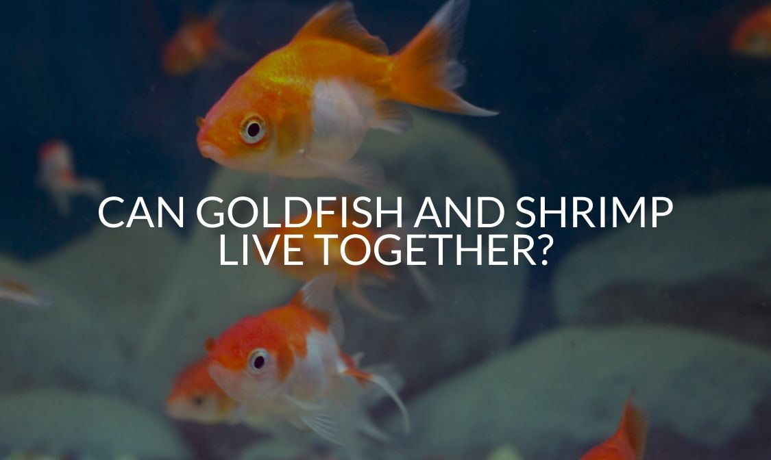Can Goldfish And Shrimp Live Together_